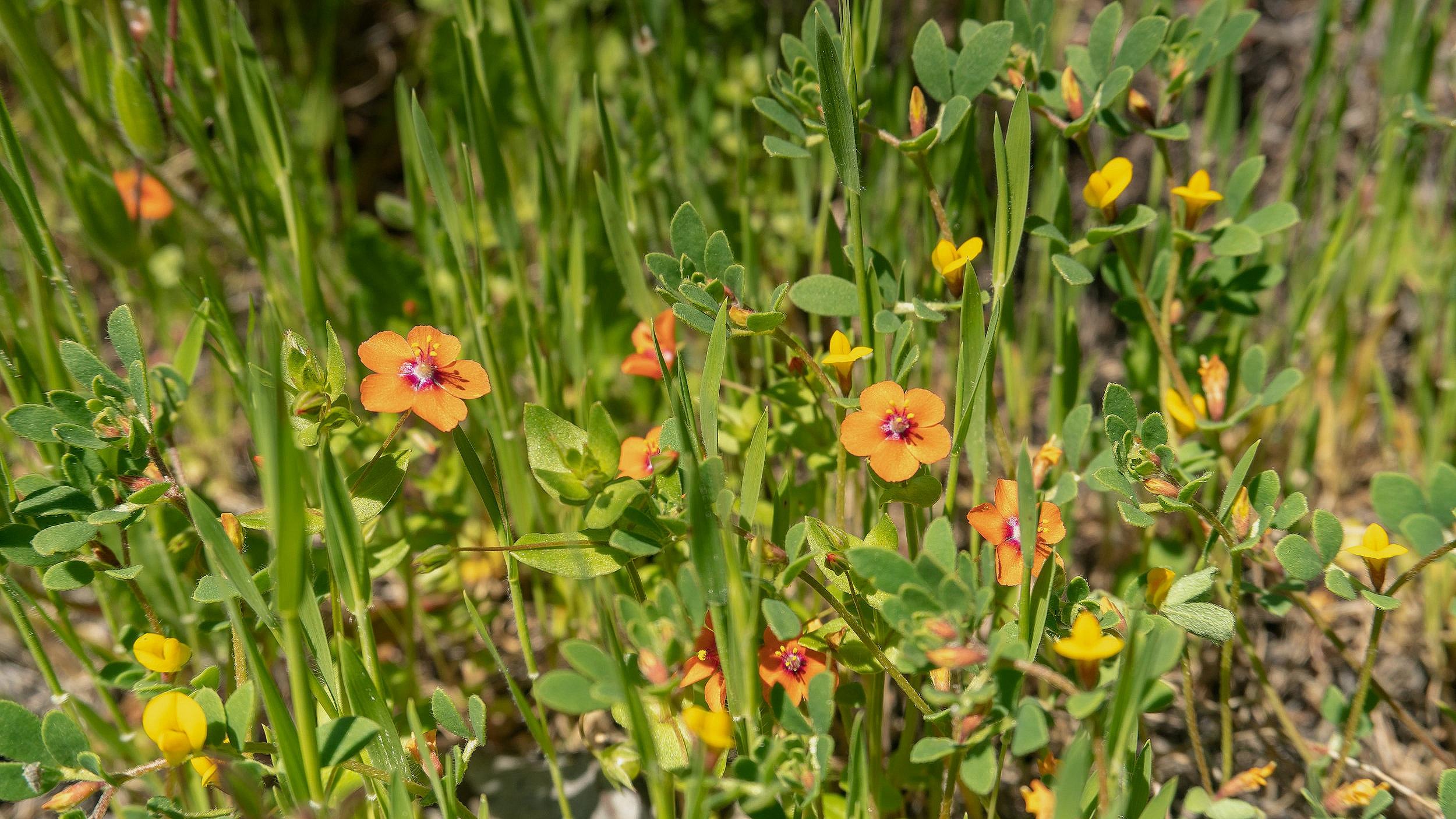 Scarlet pimpernel, Sunol Regional Wilderness