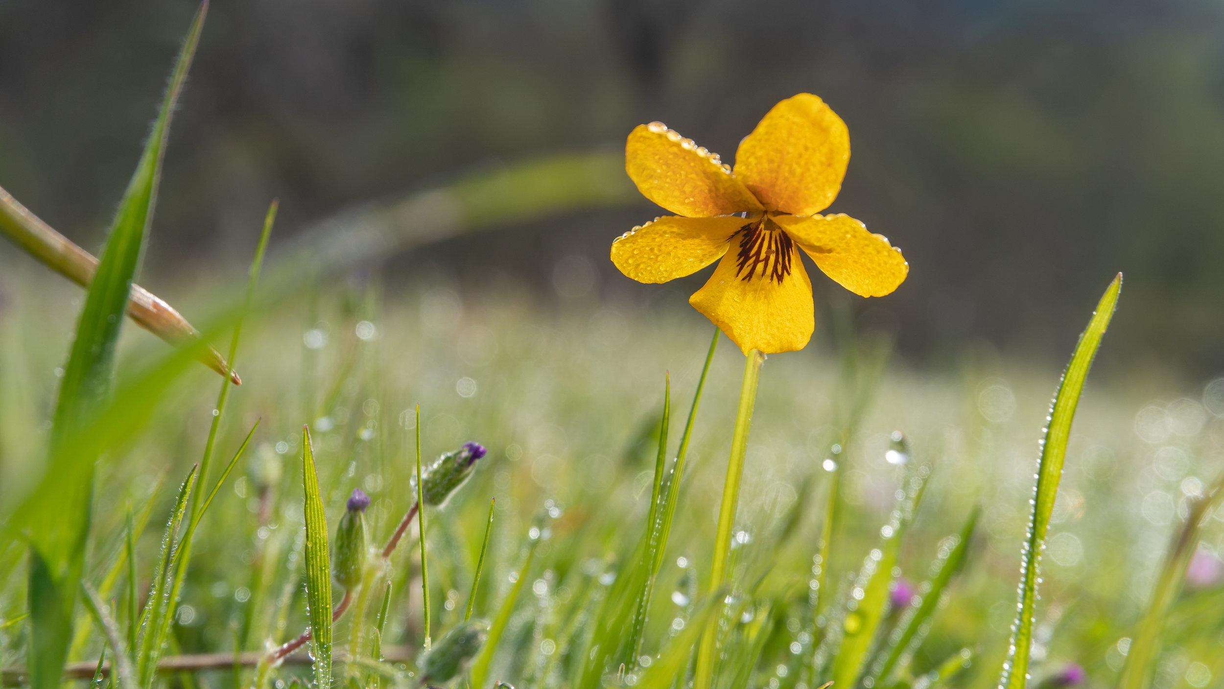 California poppies, Sunol Regional Wilderness