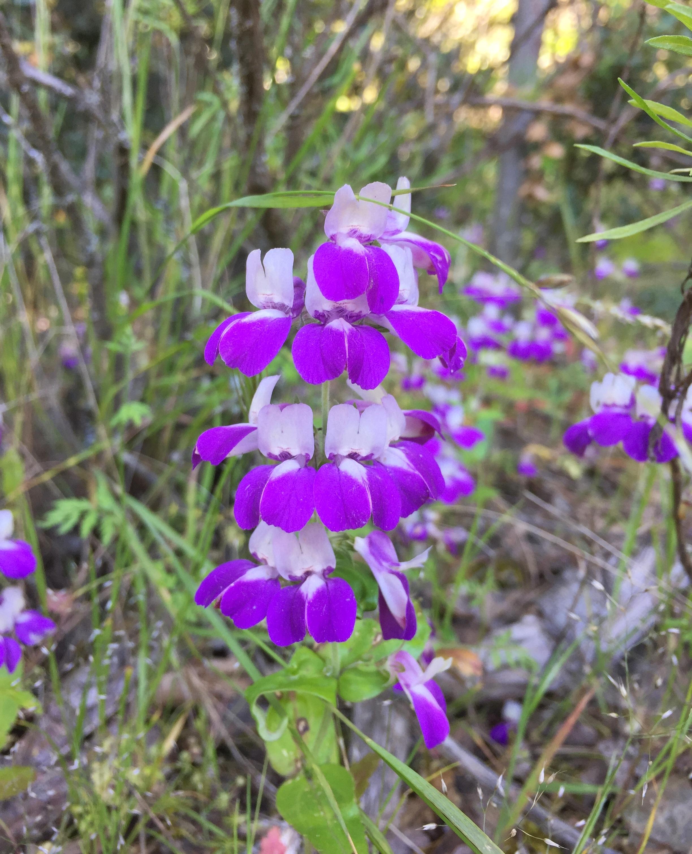 Purple Chinese houses (Collinsia heterophylla)