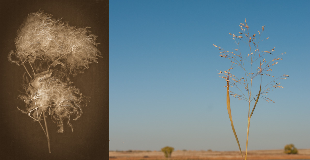 clematis grass plain-2.jpg