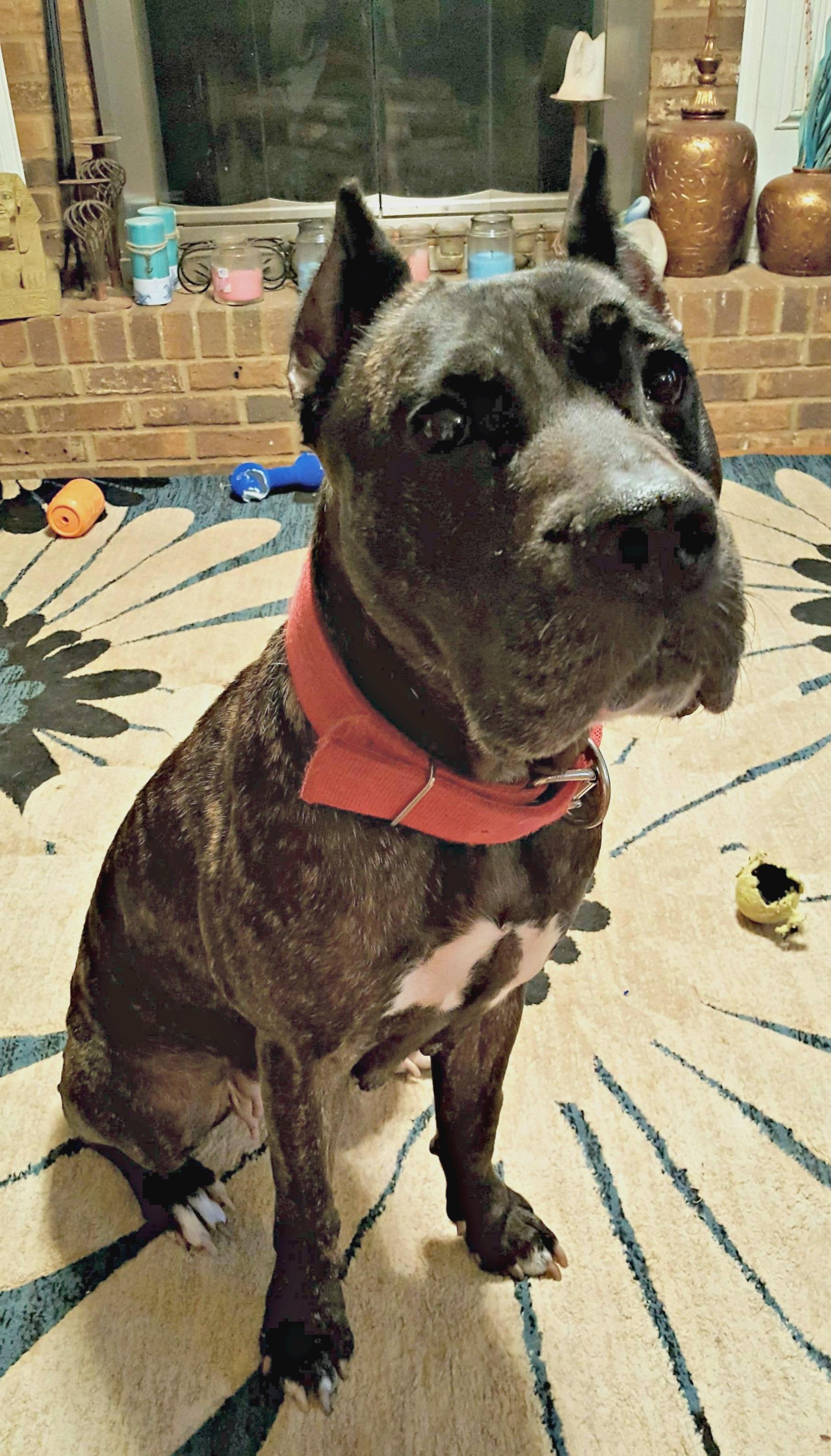 Scarlett is a beautiful Presa girl that found an amazing home near Athens, GA.