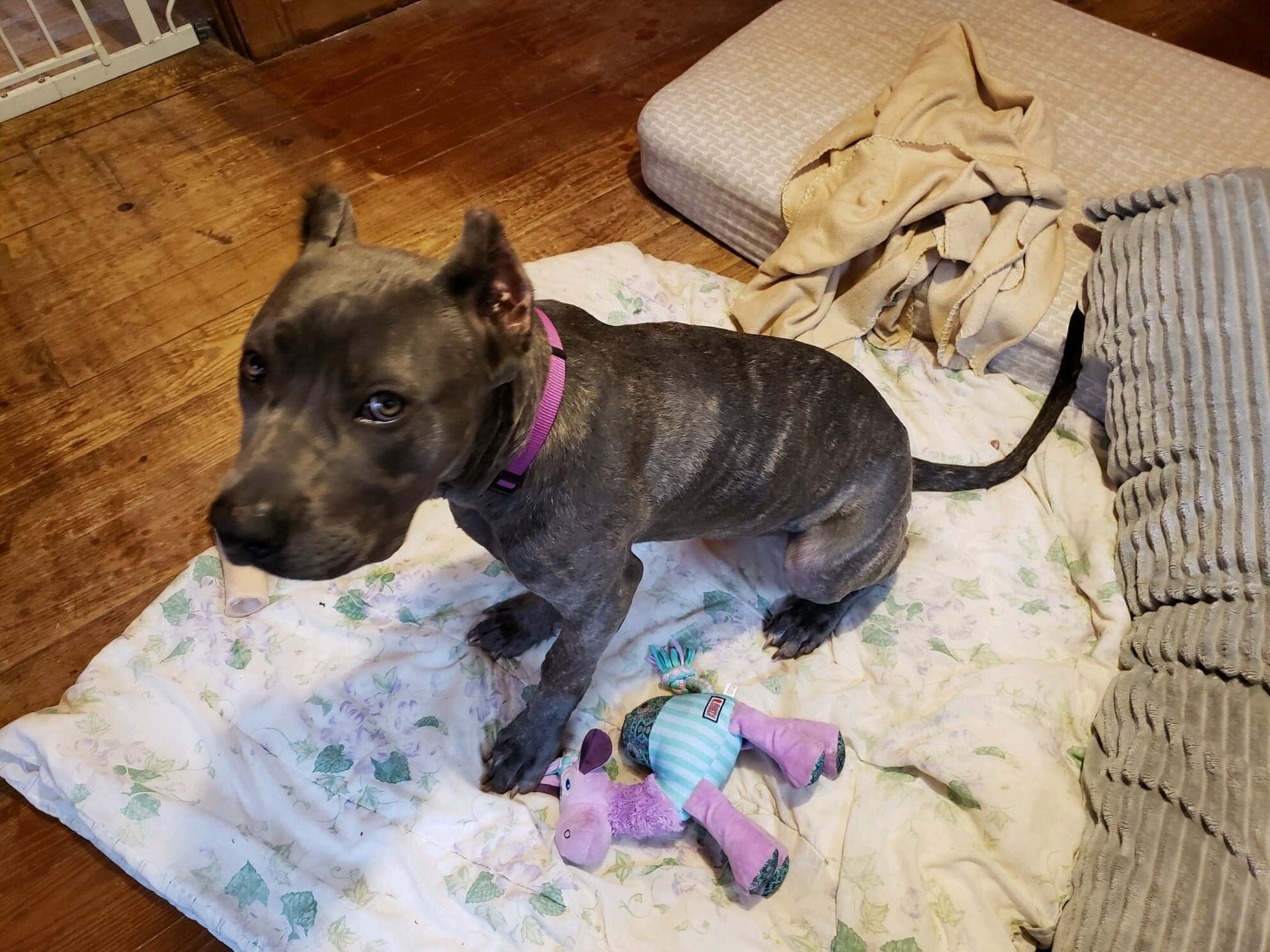 Dutchie is a darling 8 month old Presa girl who is super cute and smart!