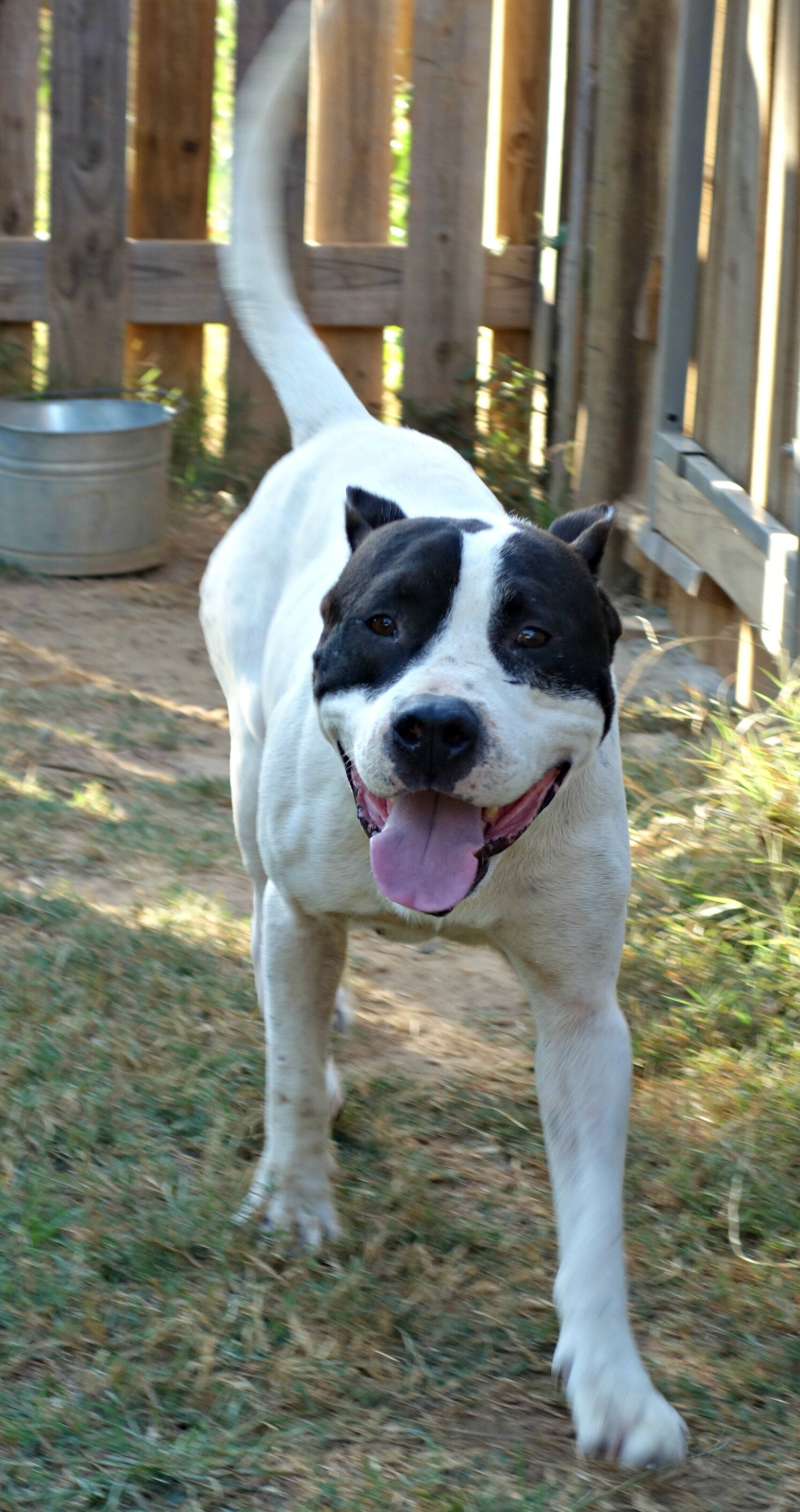 Bruiser is a sweet Corso-Bulldog boy that's looking for love!