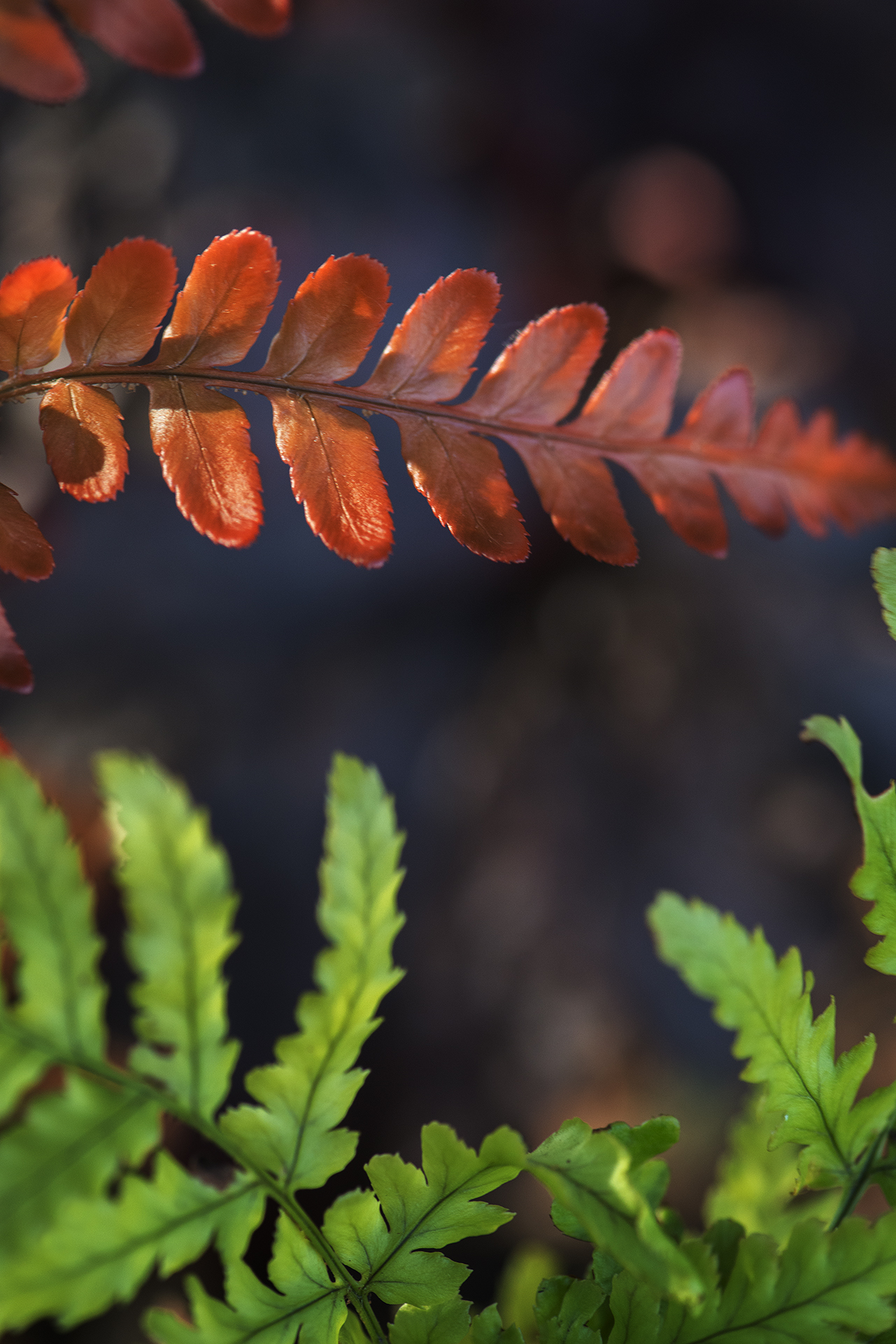 Dryopteris erythrosora 'Brilliance' (Autumn Fern)
