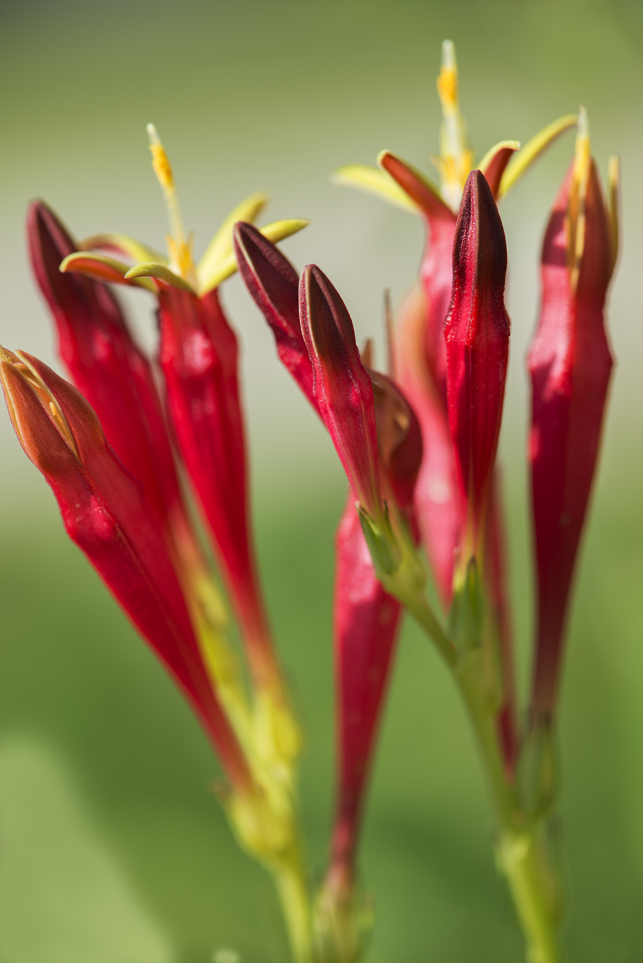 Spigelia marilandica (Indian Pink)