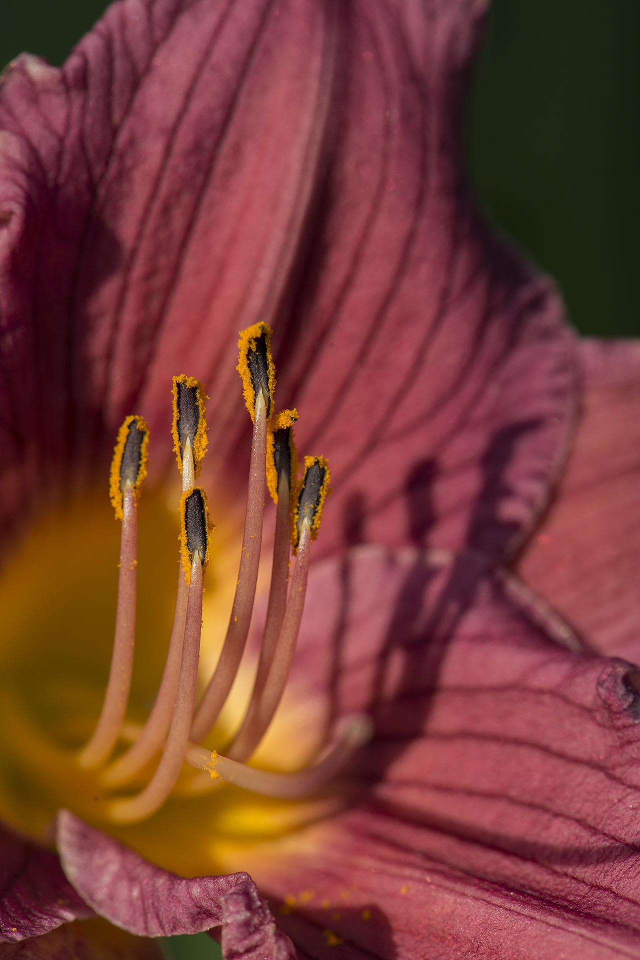 Hemerocallis 'Purple d'Oro' (Daylily)