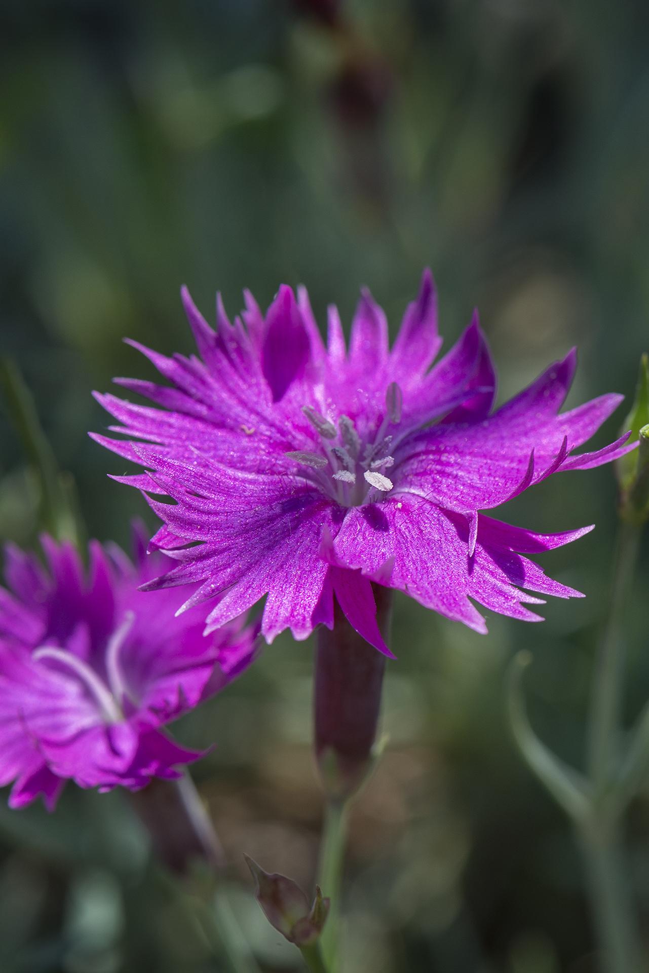 Dianthus gratianopolitanus 'Firewitch' (Cheddar Pink)