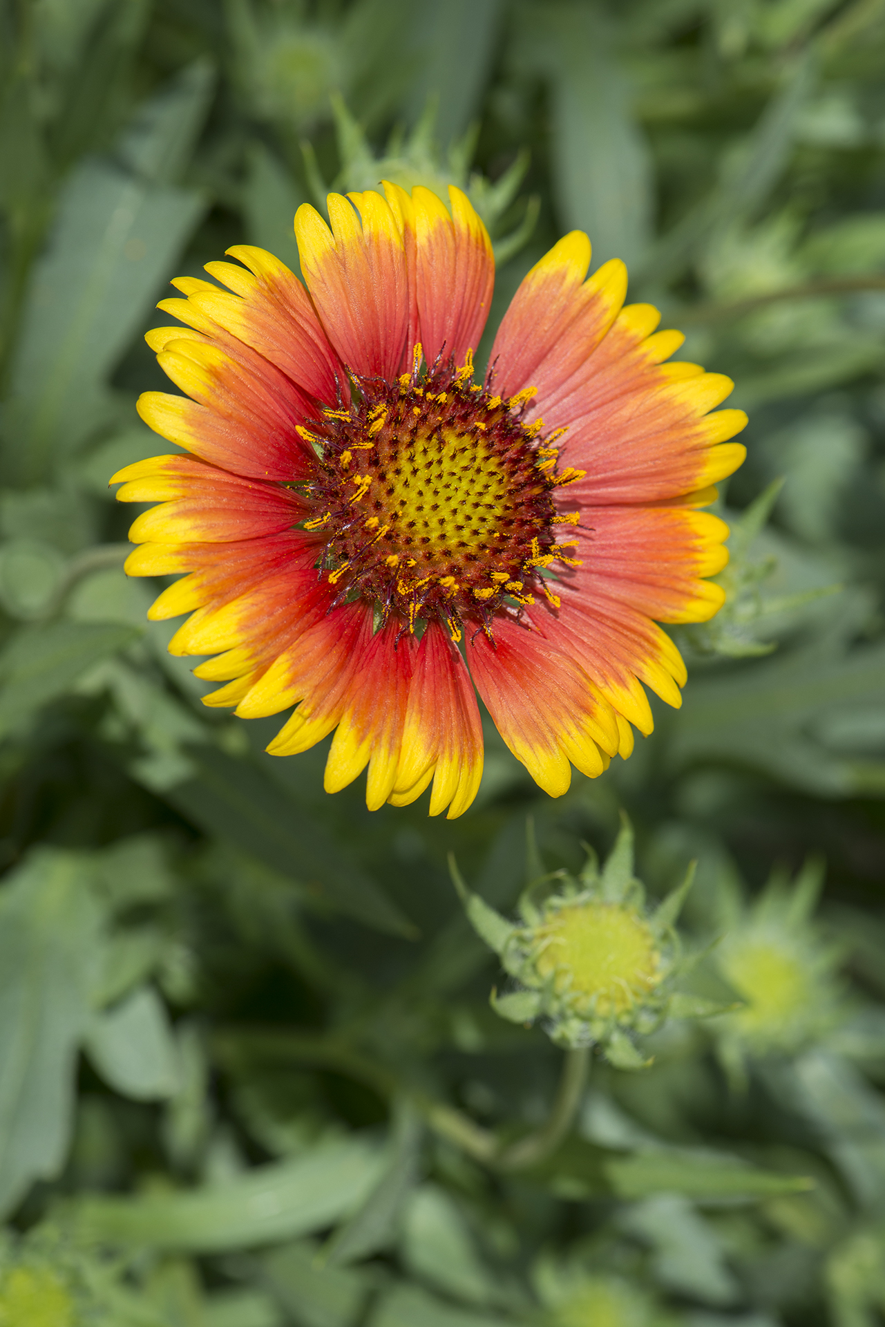 Gaillardia 'Arizona Sun' (Blanket Flower)