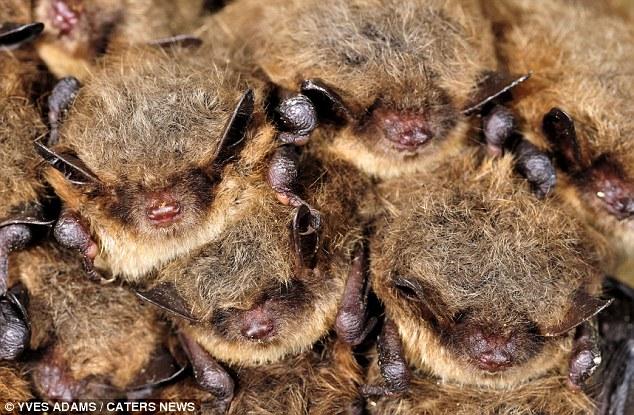 Hibernating Natterers Bats - Image by Yves Adams