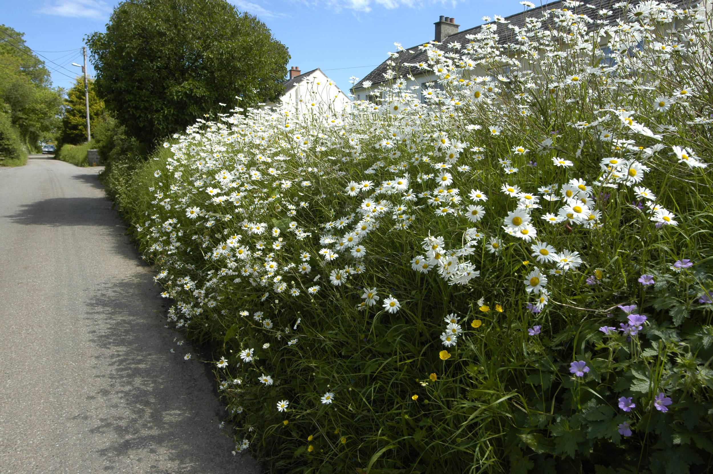 A previously well maintained grass verge now blooming with oxeye daisies.