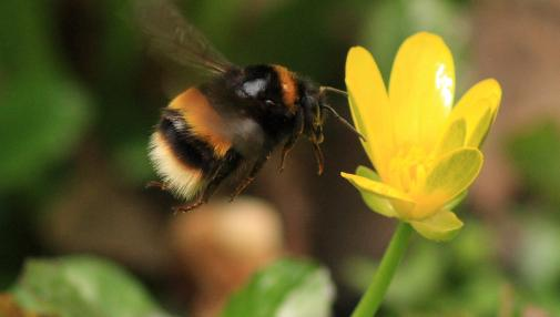 Buff-tailed bumblebee  Bombus terrestris  by Greg Hitchcock