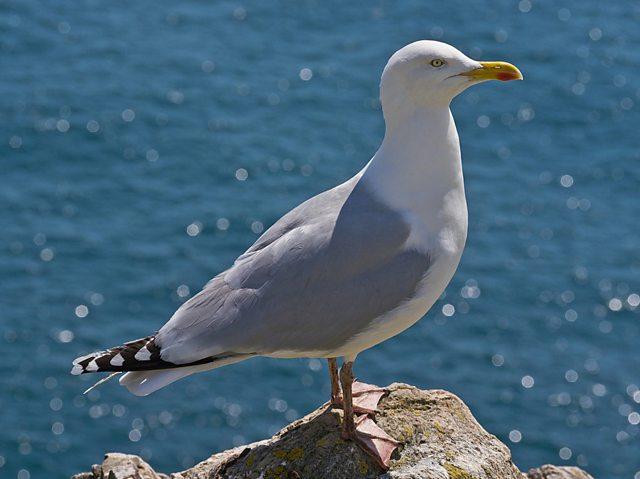 Herring Gull. Credit: Maria Hiles