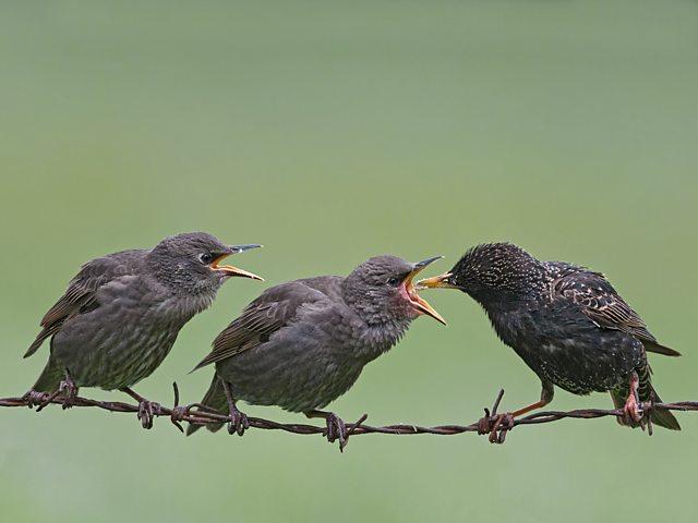 Starlings. Credit: Mike Hudson