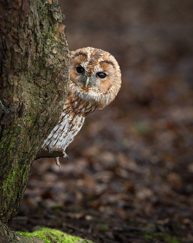 Tawny Owl. Credit: Peter Orr