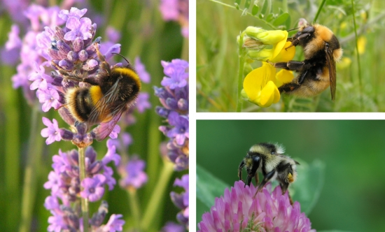 Image taken from http://bumblebeeconservation.org