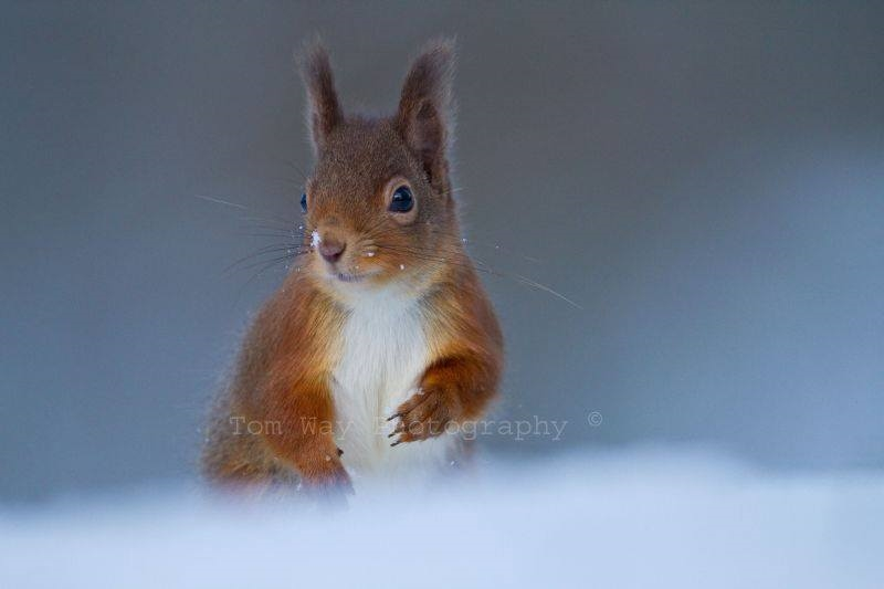 Red Squirrel by Tom Way