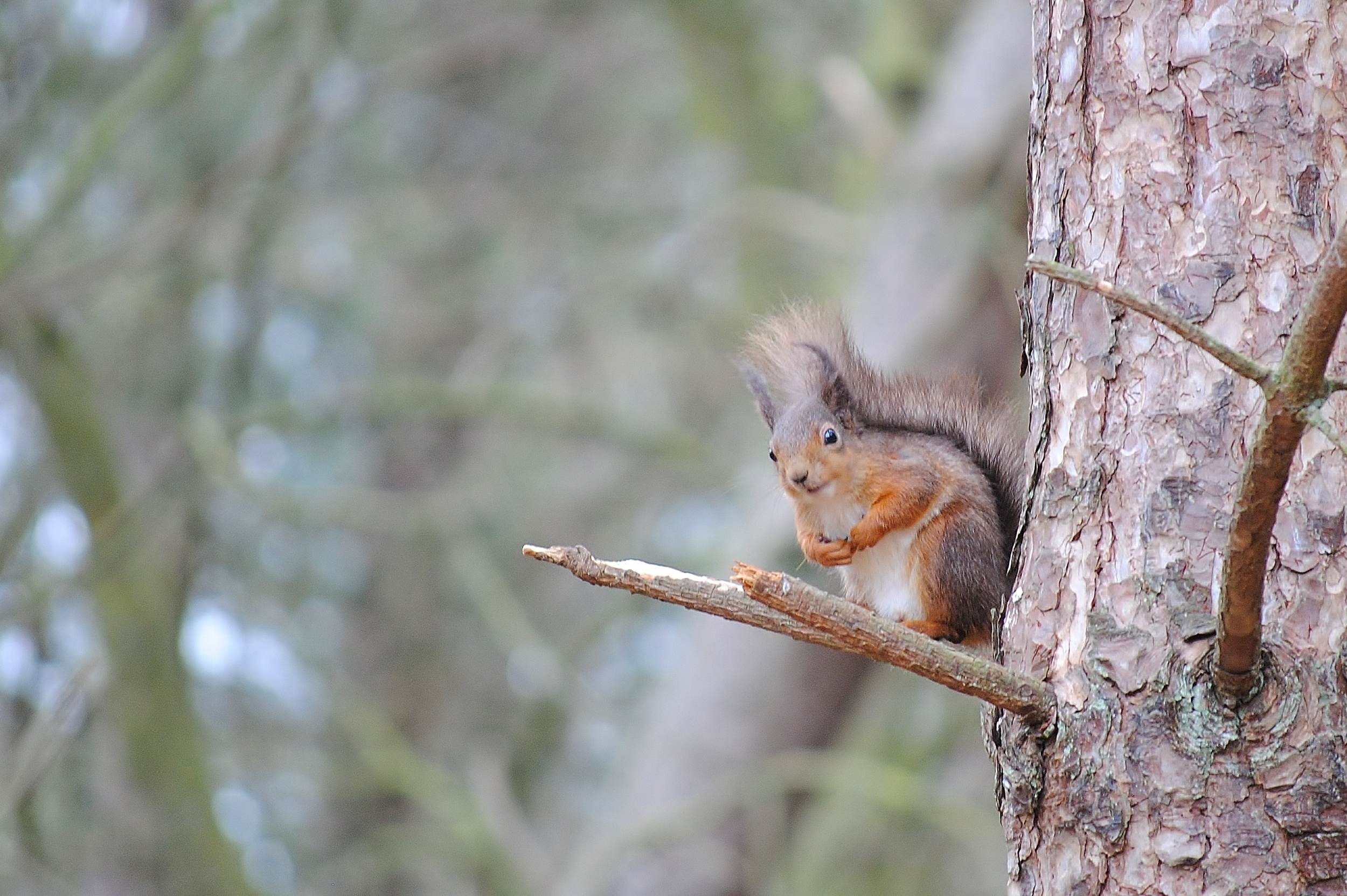 Red Squirrel by Leanne Hunter