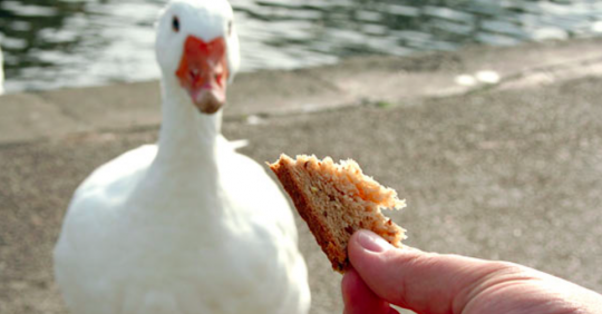 Feeding Bread To Ducks Could Actually Kill Them Creature Candy