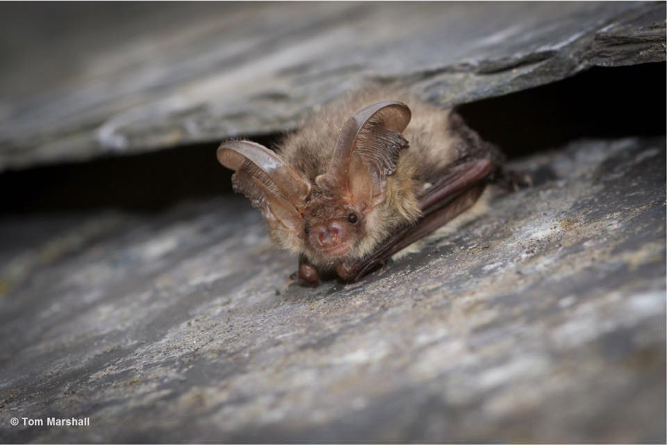 Brown long-eared bat by Tom Marshall.