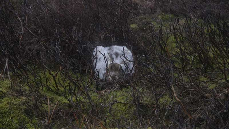Image from PTES website - Caught in broad daylight: a rare photograph of a mountain hare found at its favourite night haunt: heather burn.