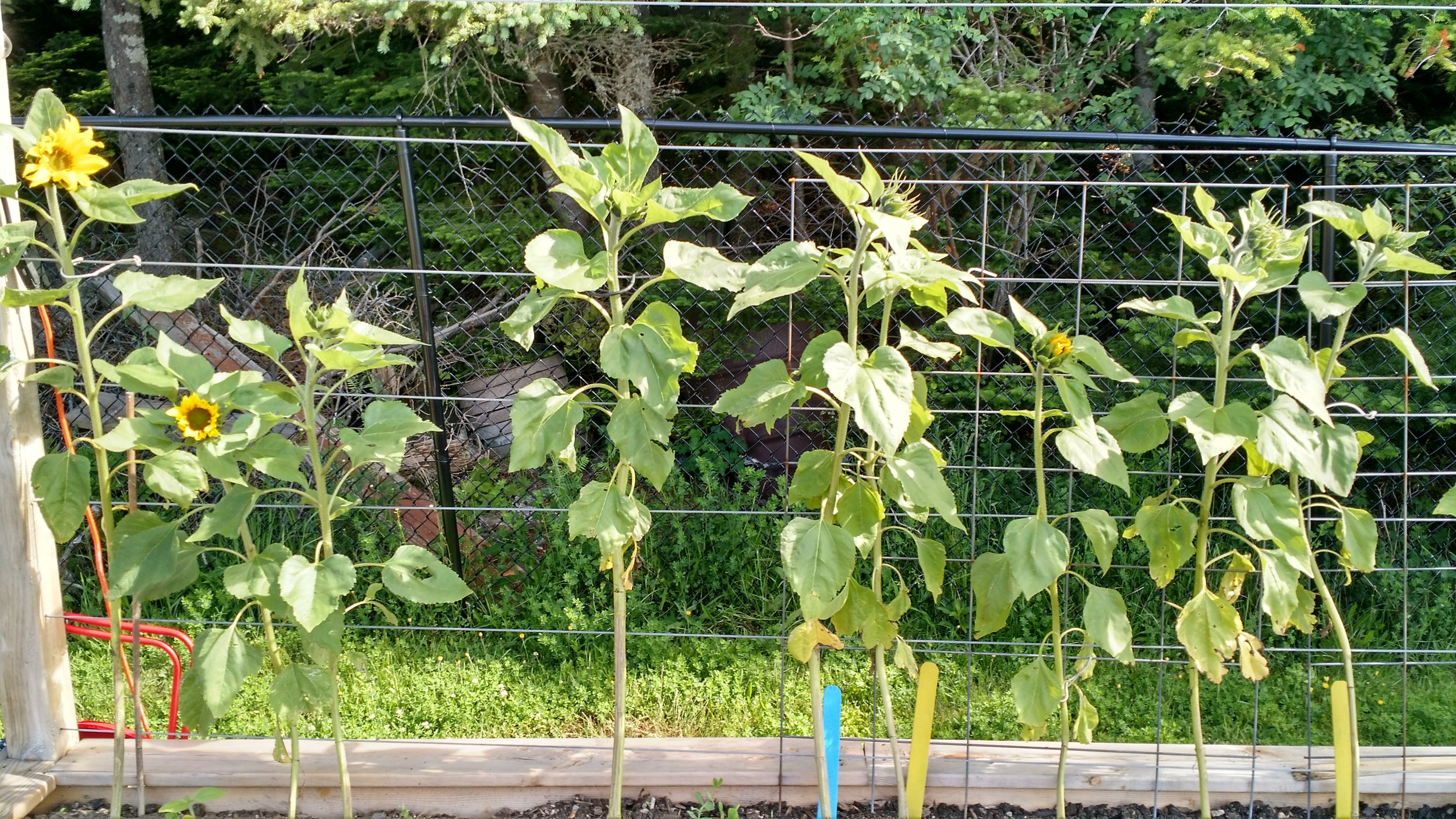 The sunflowers were grown from seed and started their life inside. They have been in this spot in the garden since the long weekend in May and just 2 days ago, started blooming!