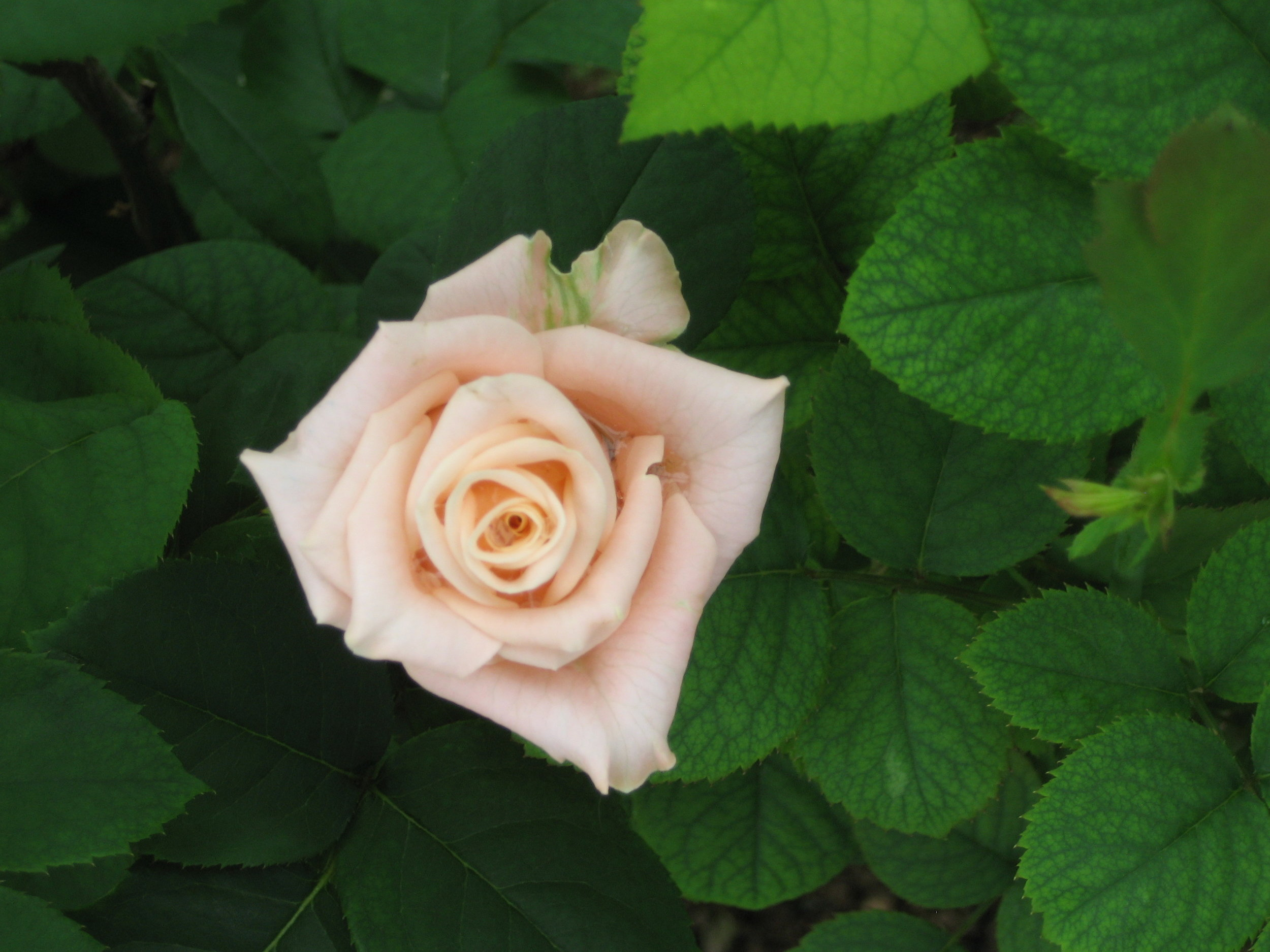 Rose White Small.JPG