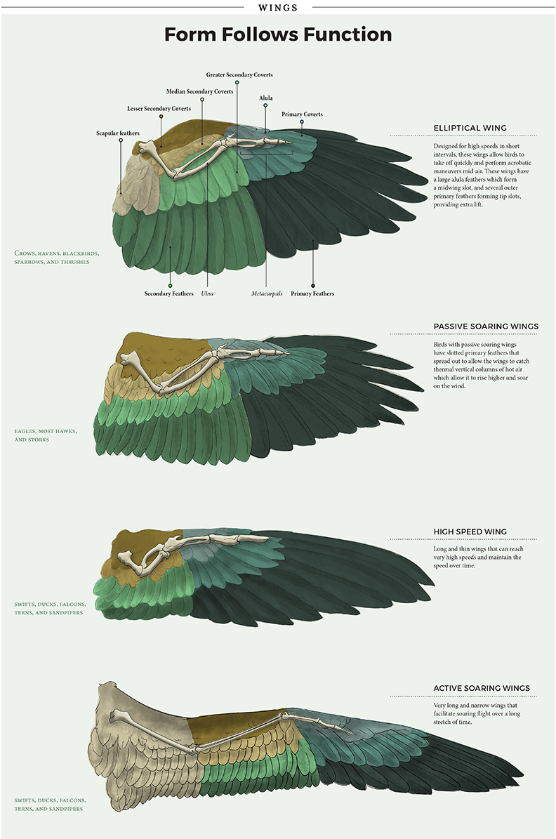 Bird Wing Morphology - JD362