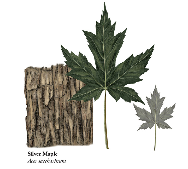 Silver Maple - JD366