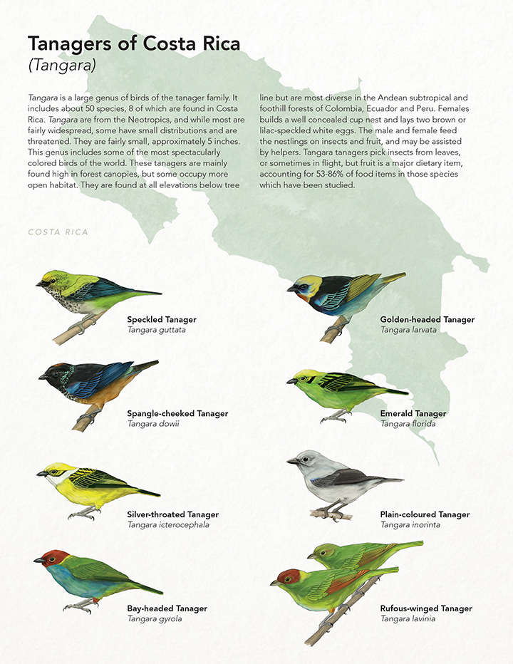 Tanagers of Costa Rica - JD369