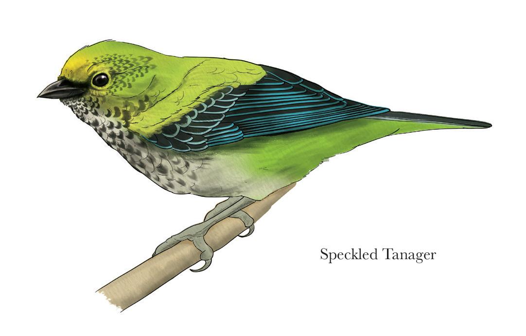 Speckled Tanager - JD371