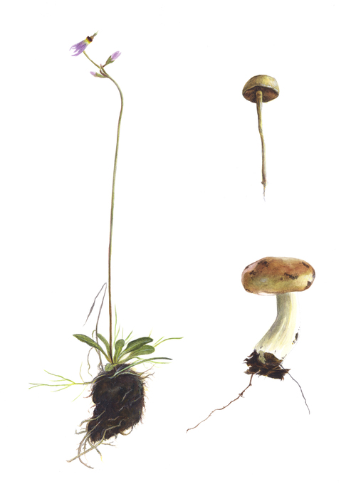 Shooting Star Flower & Mushroom - JD374