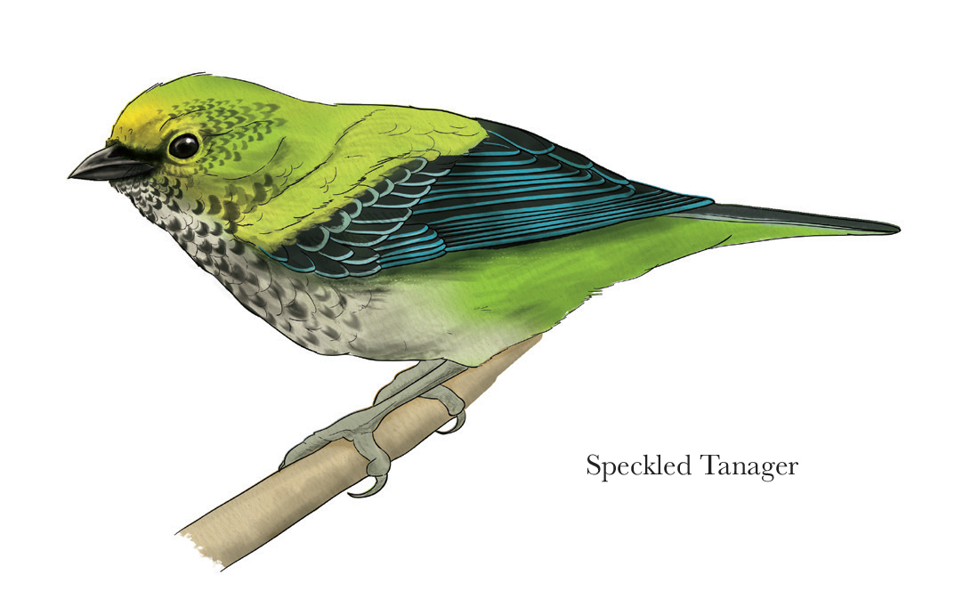 Speckled Tanager, Digital