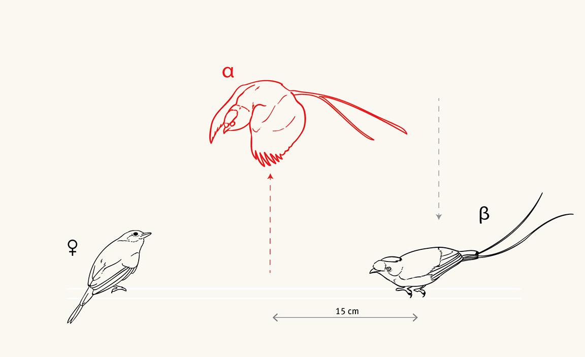 Long-tailed Manakin Detail - JD387