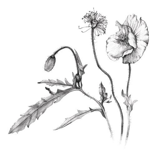 Poppies Talya Baldwin Illustration