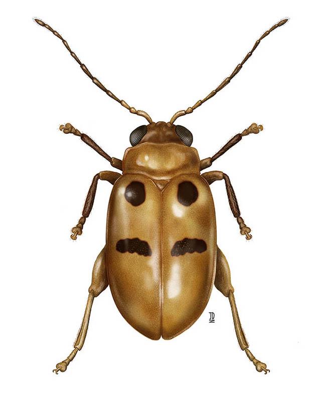 Megasus Bimaculatus (Insect) - JD394