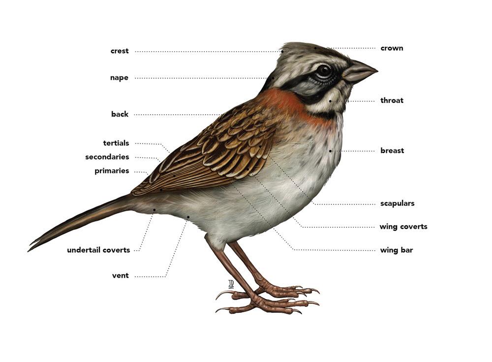 Bird Anatomy - JD402