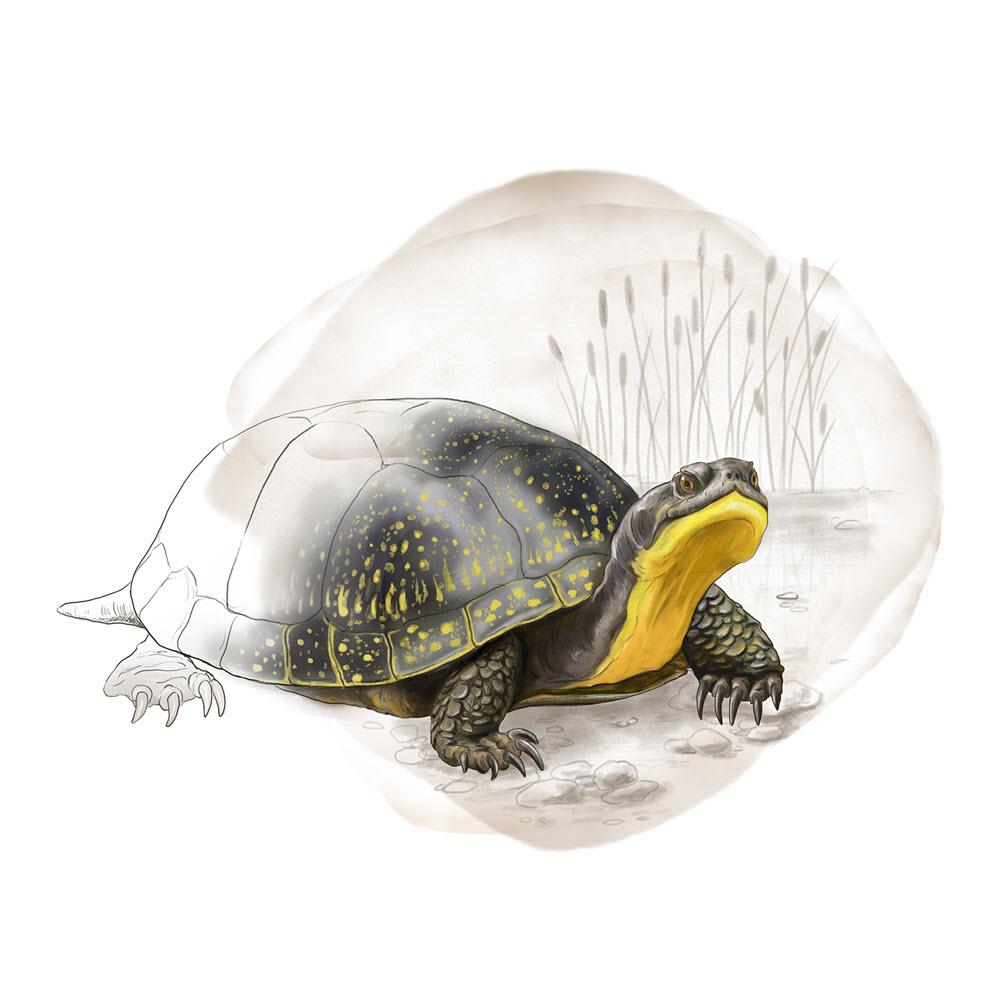 Blandings Turtle - JD451