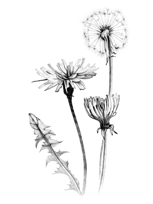 Dandelion found at the Phytology Garden