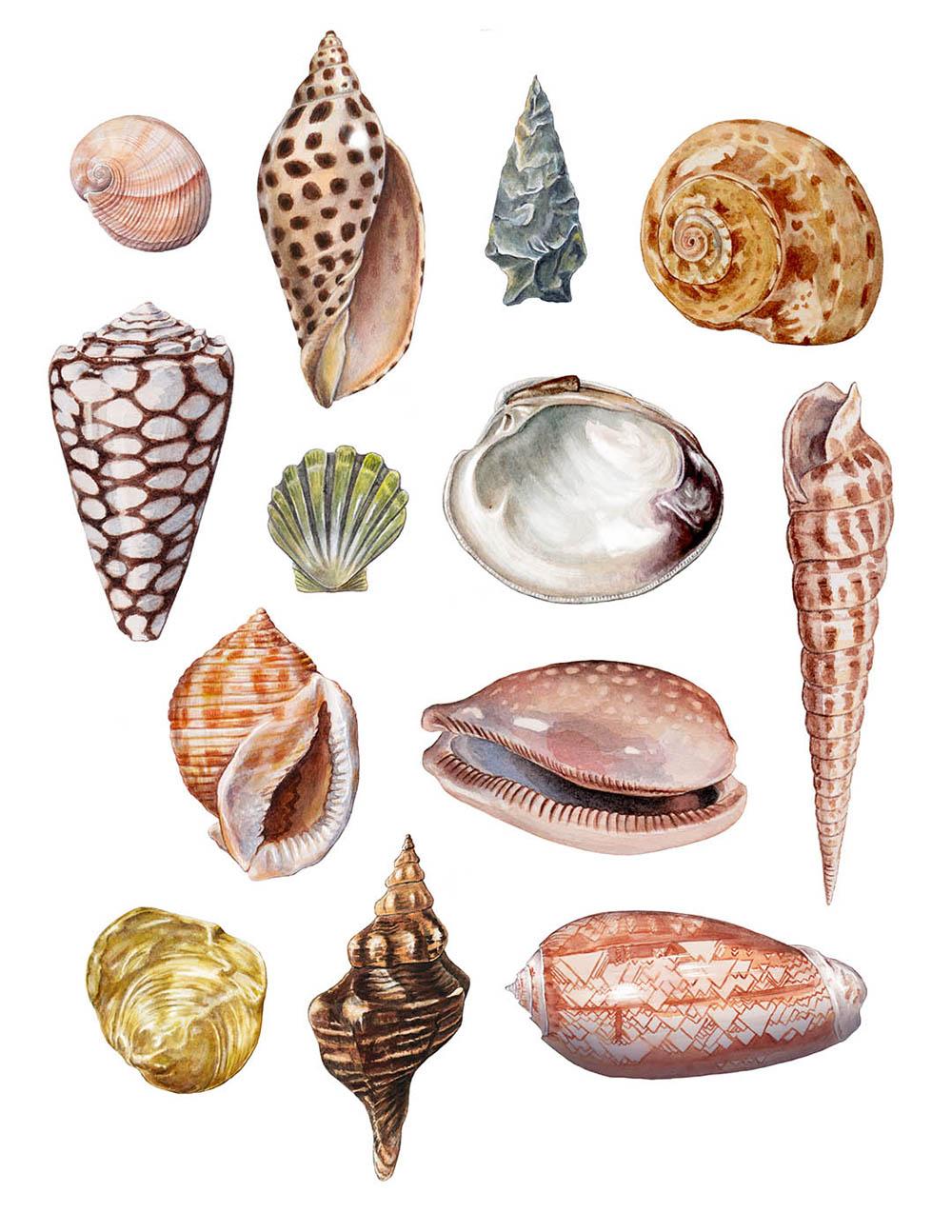 Shells - JD455