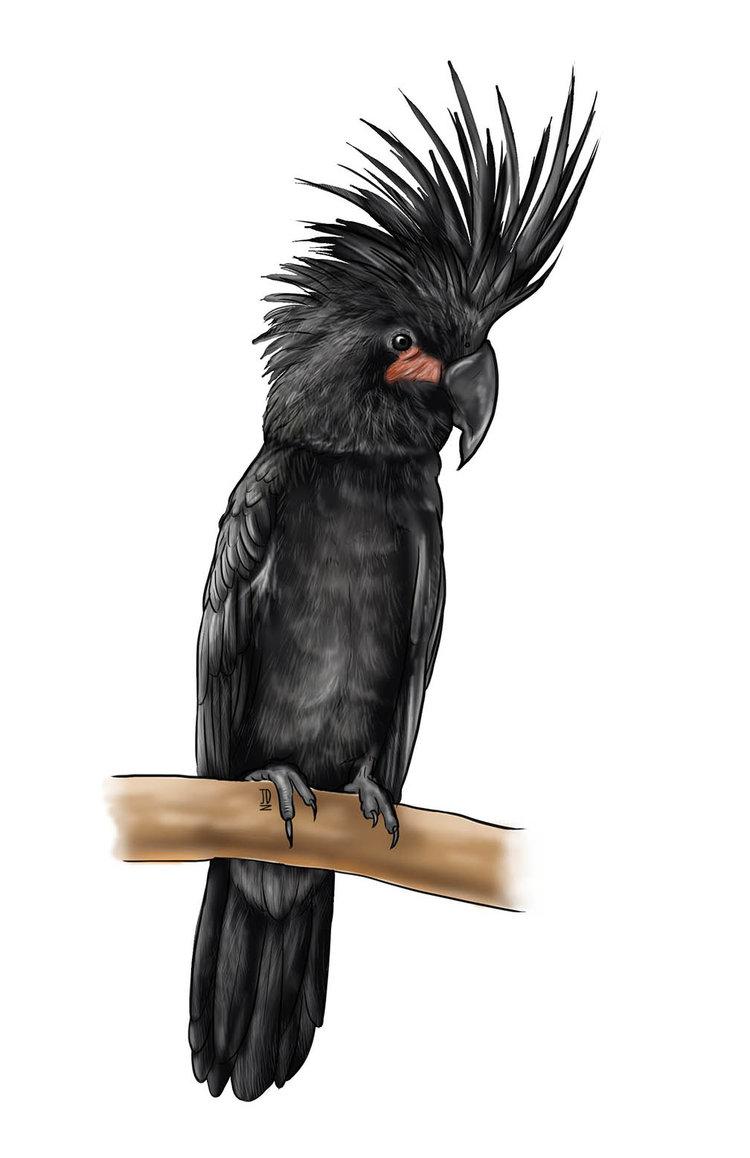 Black Palm Cockatoo - JD463