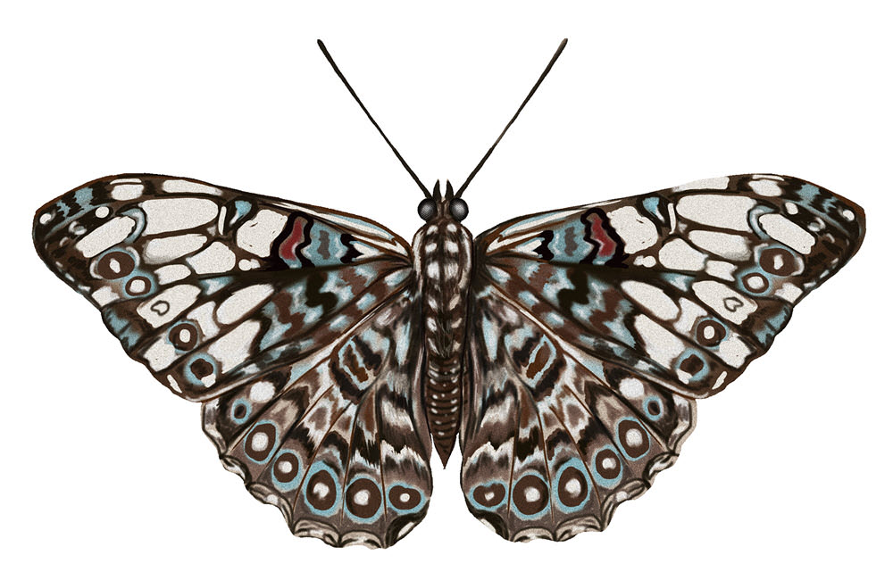 Cracker Butterfly - JD467