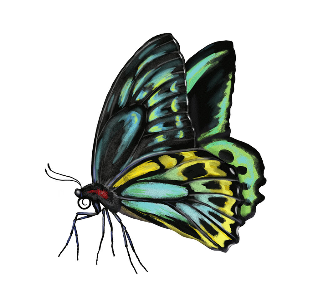 Cairns Birdwing Butterfly - JD474