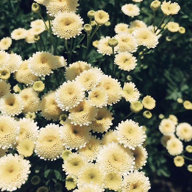 yesterday morning, we spent some time weeding @longfieldflowerfarm's rows of flowers like these feverfew 🌼🌼🌼Melissa has the sweetest flower farm stand and even some yummy organic raspberries! ❤️a must stop if you're in the area 💐 #organicfarming #flowerfarm #flowerfarming #feverfew