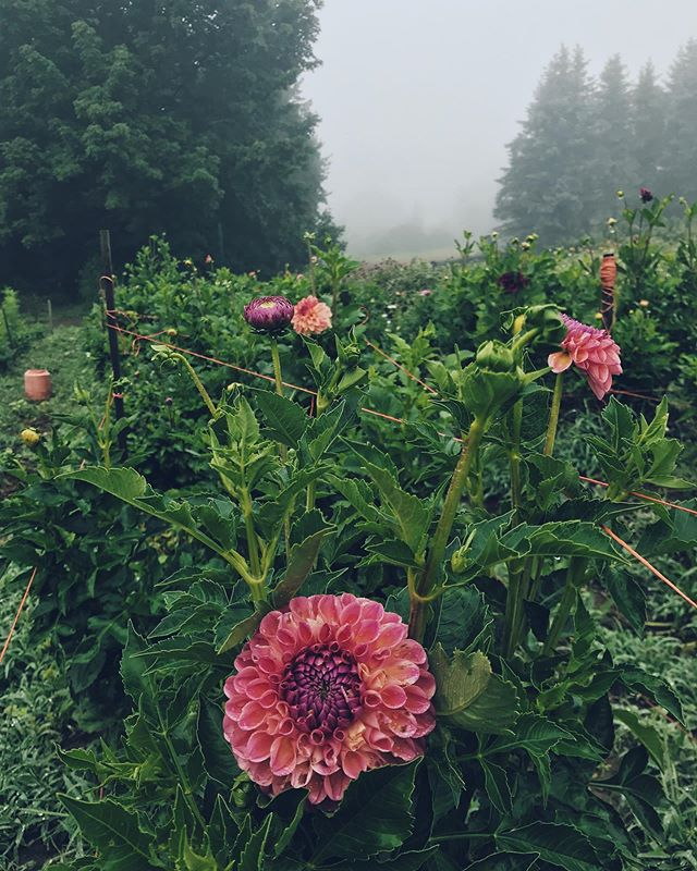 in a literal flower fog  @longfieldflowerfarm 🌸 🌫  #flowerfog #ayearinflowers #week34flowers