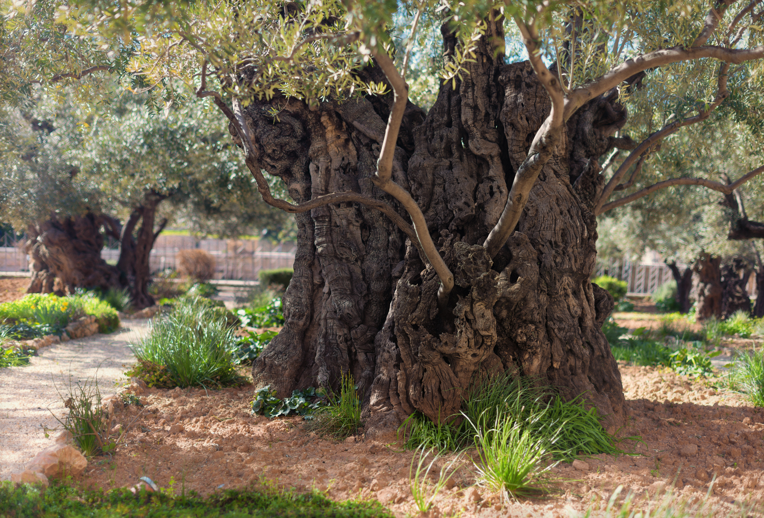 An old olive tree in the Garden of Gethsemane.