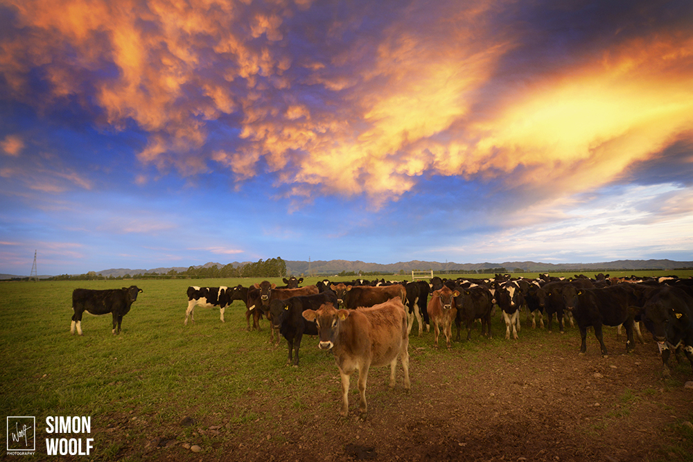 Canterbury Cows and Sunset.jpg