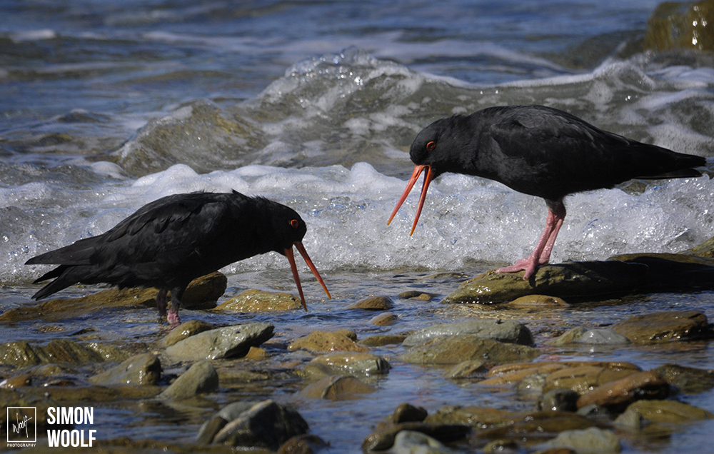 Oyster Catchers Warning Call vig.jpg