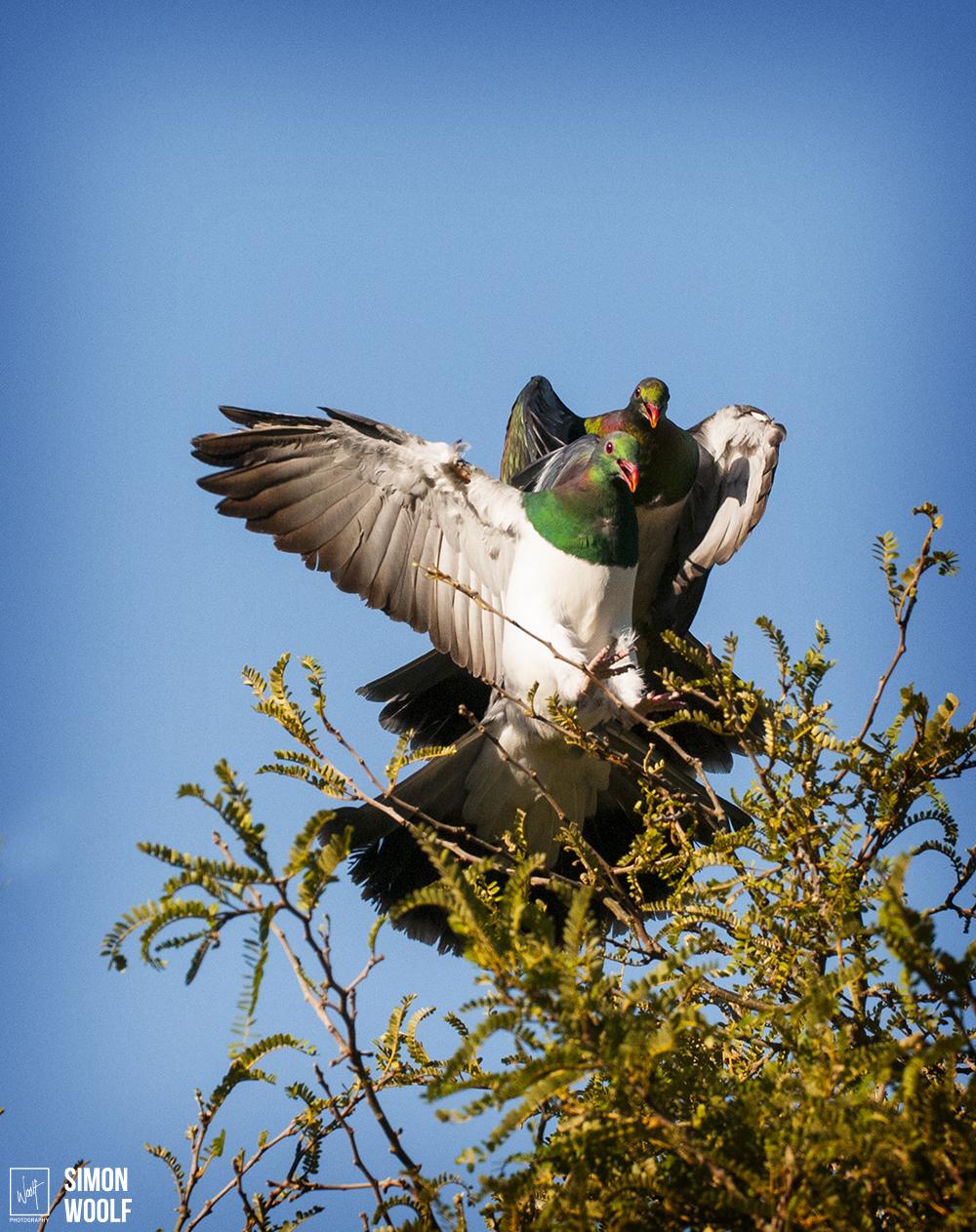 Mating Wood Pigeons_4PW3871.jpg