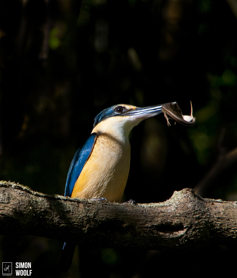 Sacred Kingfisher and Skink_6PW9272.jpg