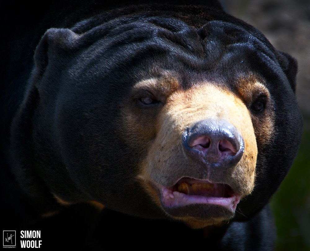 Shaun The Sun Bear_6PW7748.jpg
